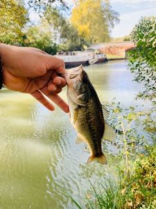 Largemouth Bass — Davy D.
