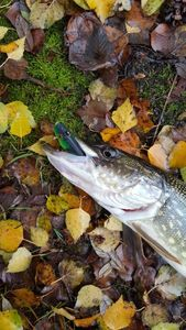 Northern Pike — Franck Boule