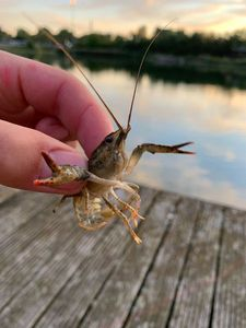 Spinycheek Crayfish — Damien Lagoutte