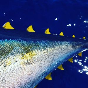 Yellowfin Tuna — Julien Audonnet