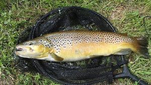 Brown Trout — Ghislain Portheault
