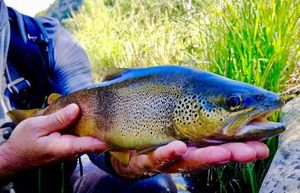 Brown Trout — Greg De Serra